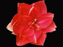 Czerwoni boże narodzenia, Czerwona Amaryllis, rewolucjonistka na Czarnym backround obraz stock