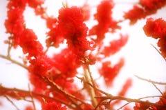 Czerwoni brzoskwini okwitnięcia Obraz Stock