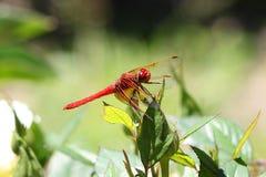 Czerwoni cedzakowi dragonfly Sympetrum darters meadowhawks dragonflies zdjęcie royalty free