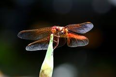Czerwoni cedzakowi dragonfly Sympetrum darters meadowhawks dragonflies fotografia royalty free