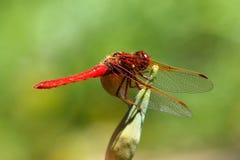 Czerwoni cedzakowi dragonfly Sympetrum darters meadowhawks dragonflies obrazy royalty free
