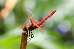 Czerwoni cedzakowi dragonfly Sympetrum darters meadowhawks dragonflies fotografia stock