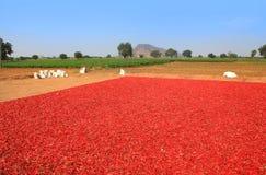 Czerwoni chillies przy gospodarstwem rolnym Obraz Stock