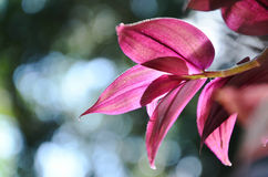 Czerwoni Chlorophytum liście Fotografia Royalty Free