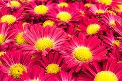 Czerwoni chryzantema kwiaty zdjęcia royalty free