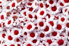 Czerwoni chryzantemy santini kwiaty Zdjęcia Stock