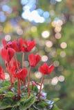 Czerwoni cyklameny Zdjęcie Royalty Free