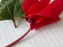 Czerwoni cyklameny kwiat i liść obraz royalty free