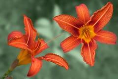Czerwoni daylily kwiaty Obraz Royalty Free