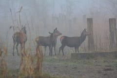 Czerwoni deers na dniu z mnóstwo mgłą w Grudniu w Oostvaardersplassen w holandiach Zdjęcia Stock