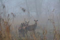 Czerwoni deers na dniu z mnóstwo mgłą w Grudniu w Oostvaardersplassen w holandiach Fotografia Royalty Free