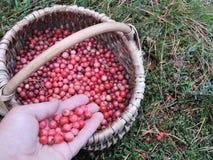 Czerwoni dojrzali cranberries w łozinowym Obrazy Royalty Free