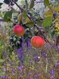 Czerwoni dojrzali jabłka na gałąź Zdjęcie Stock