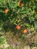 Czerwoni dojrzali jabłka na gałąź Obraz Royalty Free