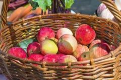 Czerwoni dojrzali jabłka w galonowym koszu w ogródzie zdjęcia stock