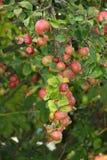 Czerwoni dojrzali jabłka Fotografia Royalty Free