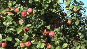Czerwoni dojrzali jabłka r na gałąź zieleni ulistnieniu przeciw niebieskiemu niebu Plandeka puszek 4K zbiory