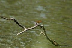 Czerwoni dragonflies są na suchych gałąź w wodzie obrazy stock