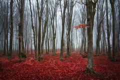 Czerwoni drzewa w lesie Obraz Royalty Free