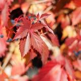 Czerwoni dziewczęcy gronowi liście na zamazanym tle zamkniętym w górę, kolorowej jesieni pomarańczowi liście, sezonu jesiennego k fotografia royalty free