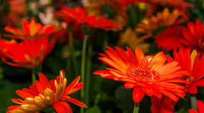 Czerwoni gerberas. Zdjęcie Royalty Free