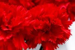 Czerwoni goździki, makro-, słodki William, Fotografia Stock