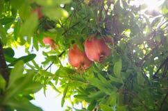 Czerwoni granatowowie owocowi na zielonym liścia tle fotografia stock