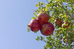 Czerwoni granatowowie w drzewie Obrazy Stock