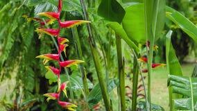 Czerwoni Heliconia kwiaty rozgałęziają się pod spada dżdżystymi kroplami Mokry sezon Luksusowy zielonych rośliien ulistnienie w t zdjęcie wideo