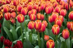 Czerwoni Holenderscy tulipany w kwiatu ? obraz stock