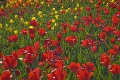 Czerwoni i Żółci tulipany w ogródzie Zdjęcie Stock