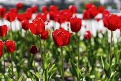 Czerwoni i żółci tulipany na kwiatu ogródzie zdjęcie royalty free