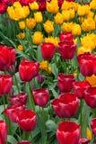 Czerwoni i żółci tulipany na słonecznym dniu zdjęcie royalty free