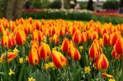Czerwoni i żółci tulipany w kwiatu ogródzie, Keukenhof park, holandie obraz stock