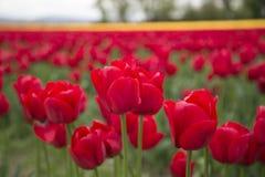 Czerwoni i żółci tulipany w polu Obrazy Stock