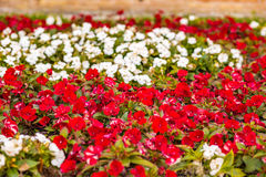 Czerwoni i biali impatiens kwiaty Obrazy Stock