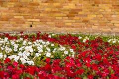 Czerwoni i biali impatiens kwiaty Obraz Stock