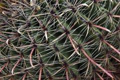 Czerwoni i Biali kręgosłupy kaktus Zdjęcie Royalty Free