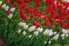 Czerwoni i biali kwiaty na wiosna dniu Obrazy Royalty Free