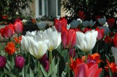 Czerwoni i Biali tulipany Zdjęcie Royalty Free