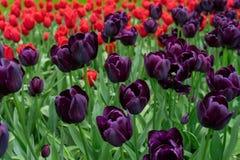 Czerwoni i Ciemni Purpurowi Tulipanowi kwiaty w wiośnie uprawiają ogródek fotografia stock