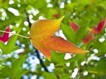 Czerwoni i złociści Japońscy liście klonowi przeciw ciemnozielonemu tłu Zdjęcia Stock