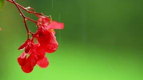 Czerwoni impatiens kwitną na zielonym tle w deszczu, odosobnionym zbiory