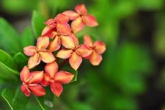 Czerwoni ixora kwiaty Zdjęcia Royalty Free