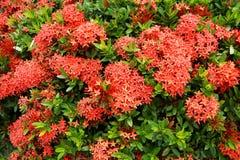 Czerwoni Ixora kwiaty Zdjęcia Stock