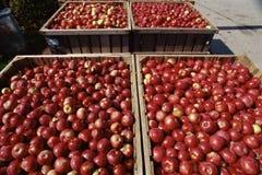 Czerwoni jabłka obrazy royalty free