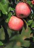 Czerwoni jabłka zdjęcie royalty free