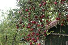 Czerwoni jabłka dojrzewający w ogródzie zdjęcie royalty free