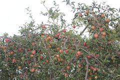 Czerwoni jabłka dojrzewający w ogródzie zdjęcia stock