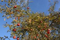 Czerwoni jabłka na drzewie zdjęcia royalty free